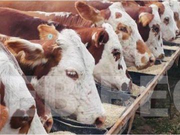 Pecuária - Criadores de bovinos de corte das raças Hereford e Braford